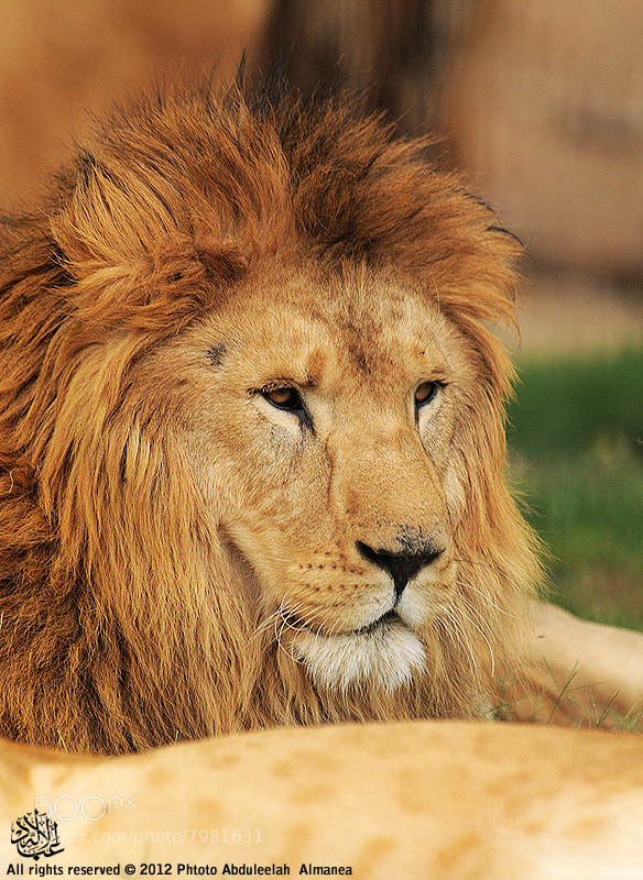 Photograph King of the Jungle by Abduleelah Al-manea on 500px