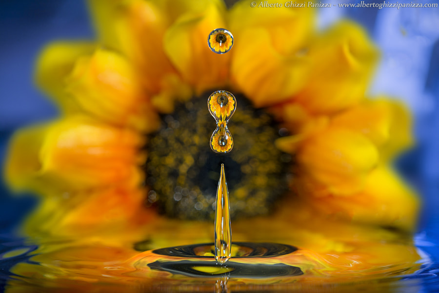 Photograph Sunflower's drops by Alberto Ghizzi Panizza on 500px