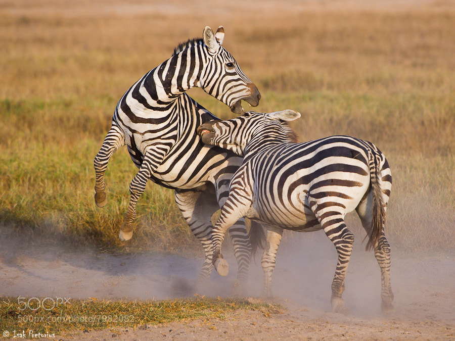 Photograph Zebra fight by Isak Pretorius on 500px