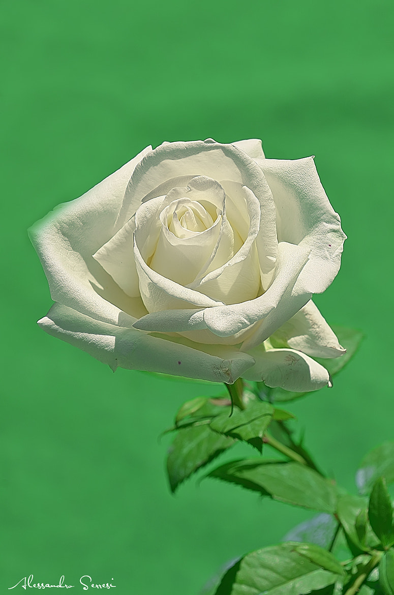 Photograph WHITE ROSE by Alessandro Serresi on 500px