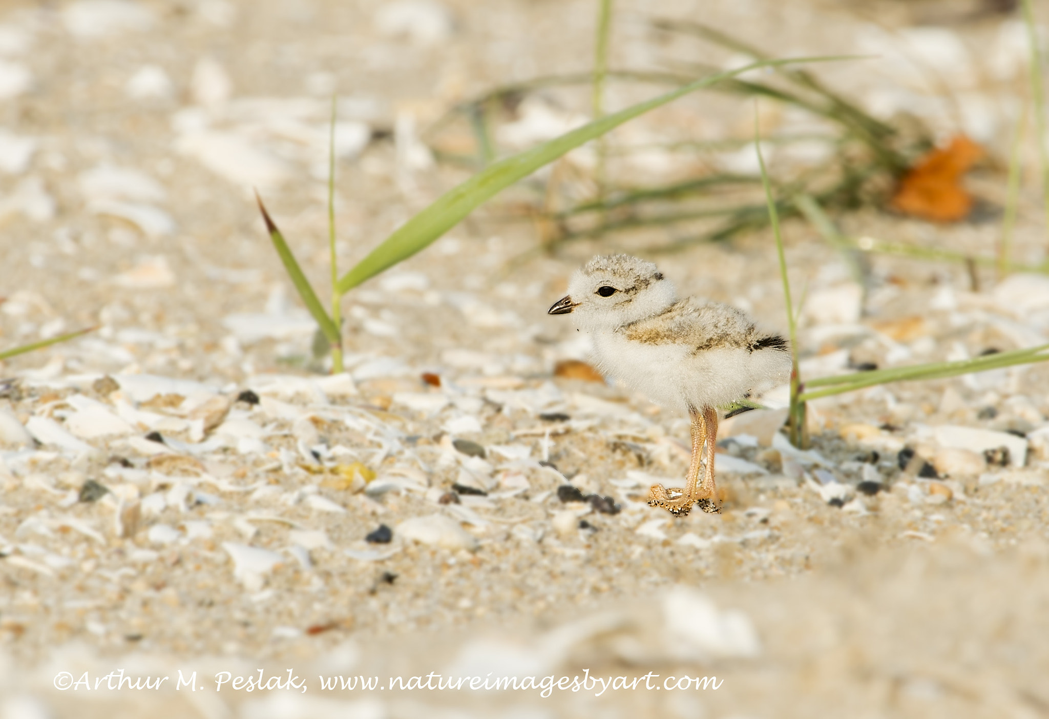 Photograph Piping Plover Chick by Art Peslak on 500px