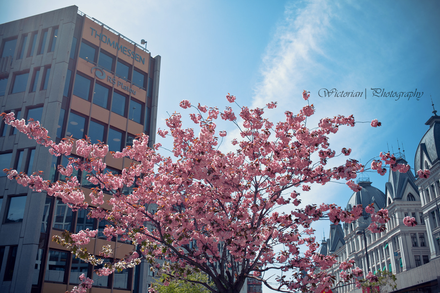 Photograph Cherry Blossoms by Wictoria Nordgaard on 500px