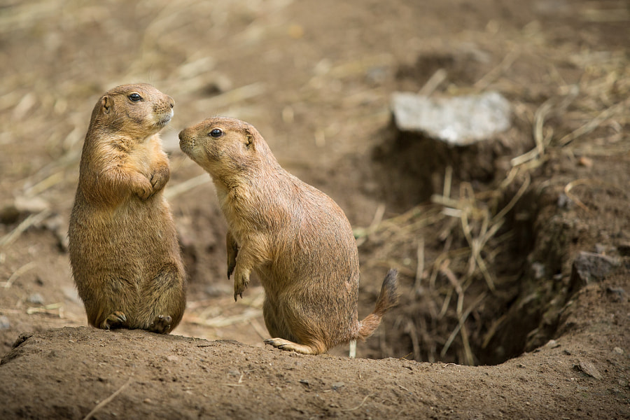 Prairie Dogs by Michael DeMicco on 500px.com
