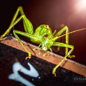 Heuschrecke | Grasshopper