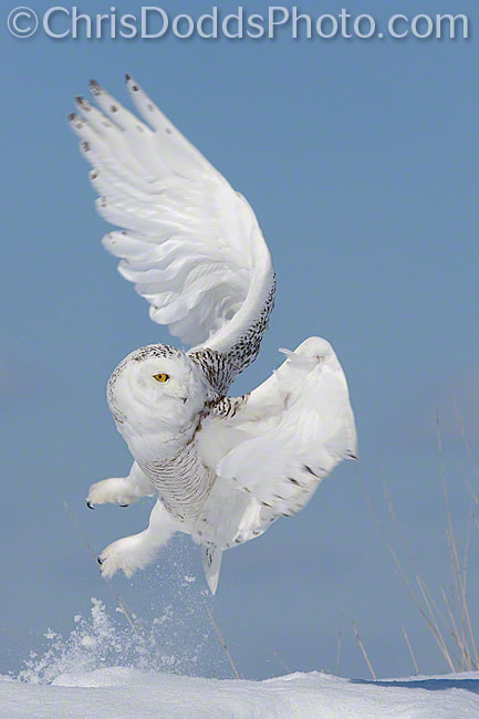 Photograph Snowy Owl BLAST-OFF by Christopher Dodds on 500px