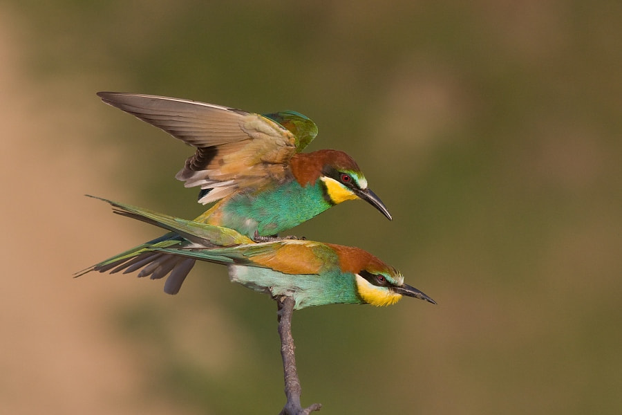 Photograph Bee-eaters by Jakub Mrocek on 500px