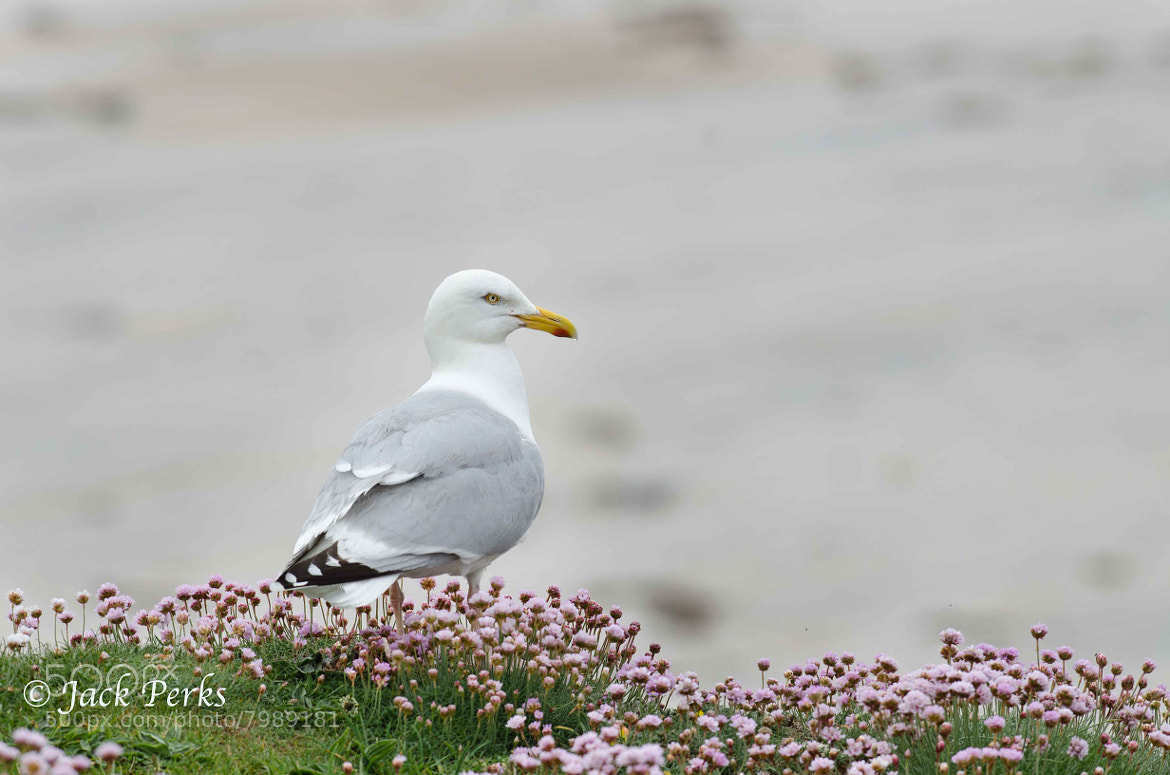 Photograph Herring Gull by Jack Perks on 500px