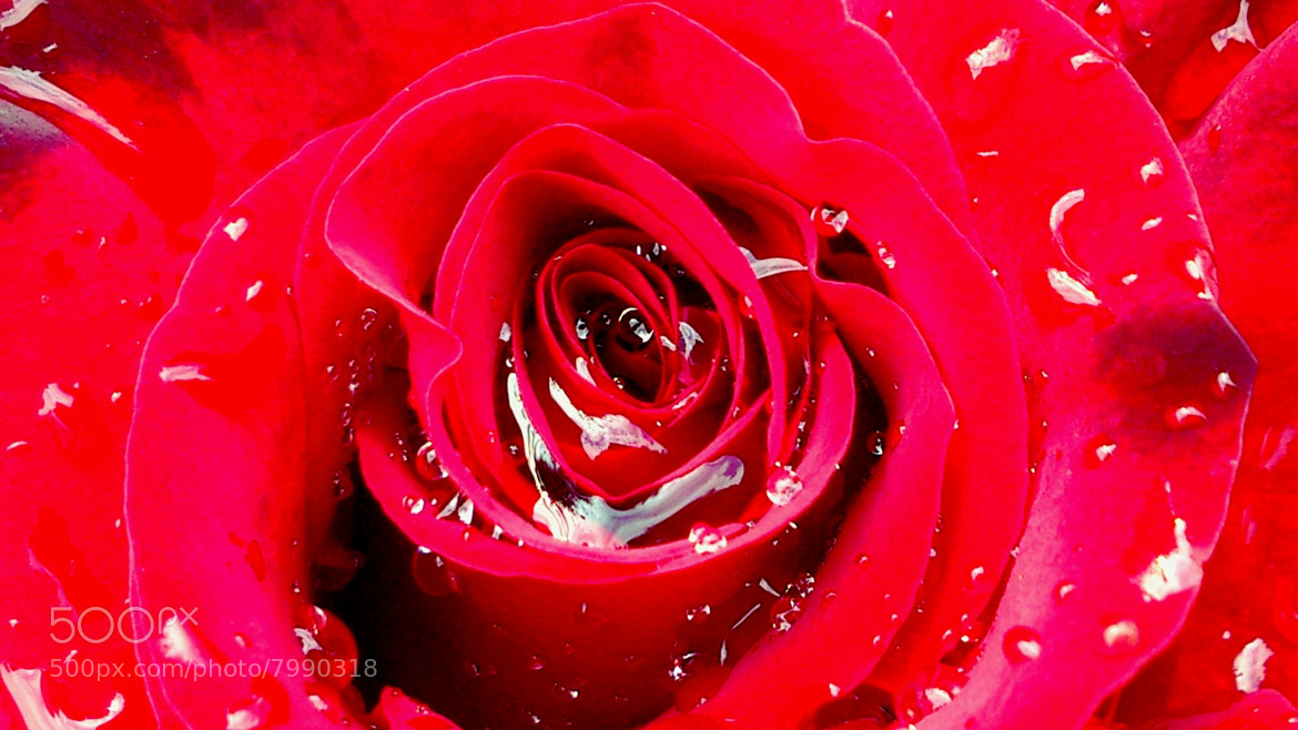 Photograph Wet rose by mustafa guler on 500px