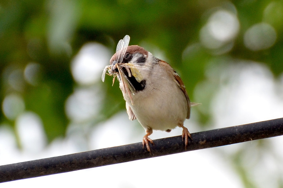 Sparrow with dragonfly