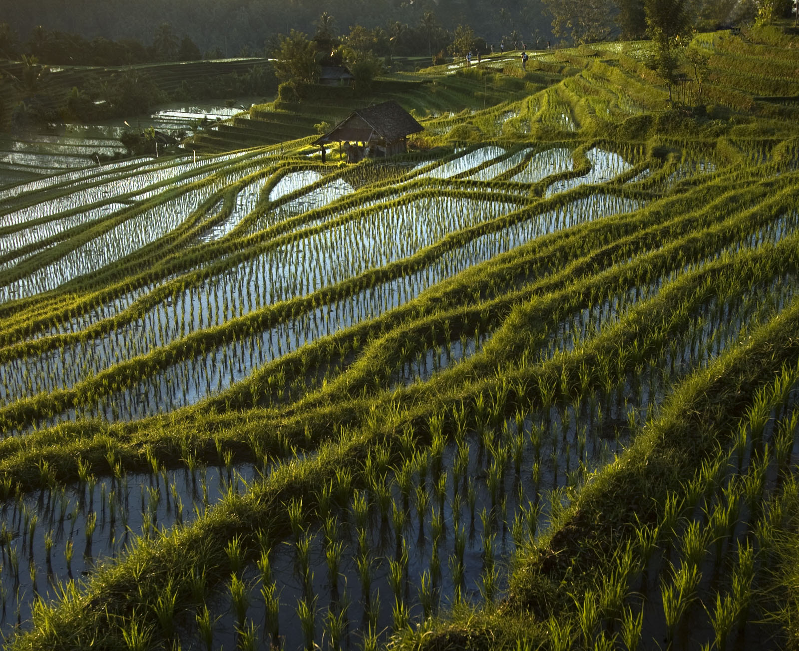 Photograph Rice fields by Saelanwangsa  on 500px