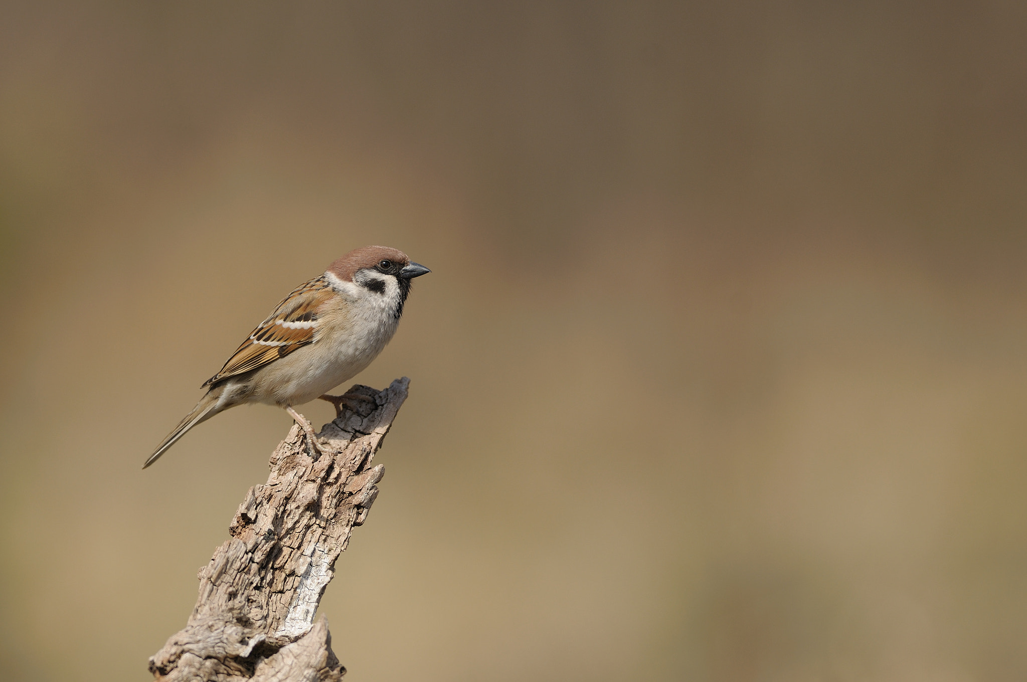 Photograph Tree sparrow by J. R. Bogner on 500px