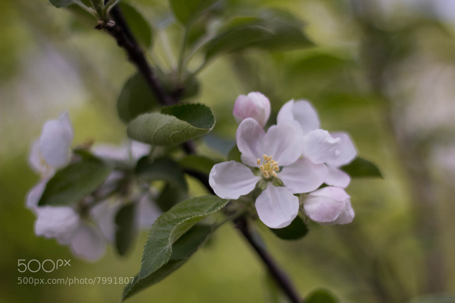 Photograph Apple blossom by Brooklyn August on 500px