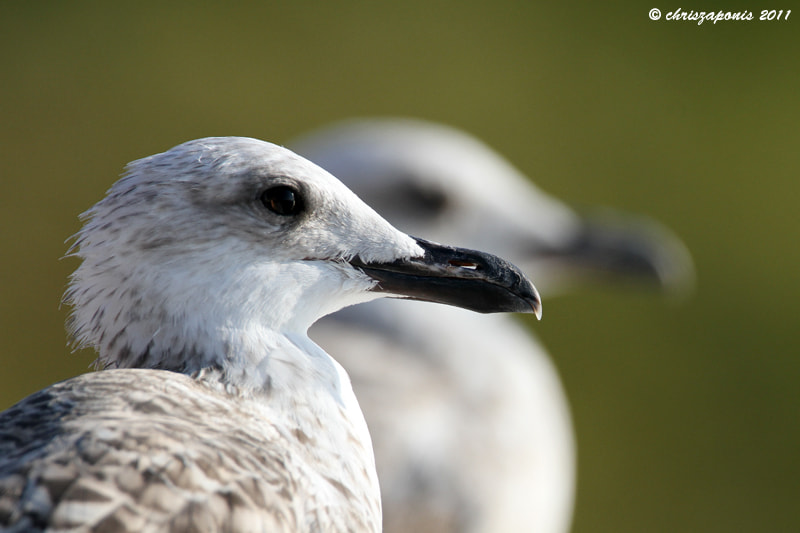 Photograph Larus michahellis  by Chris Zaponis on 500px