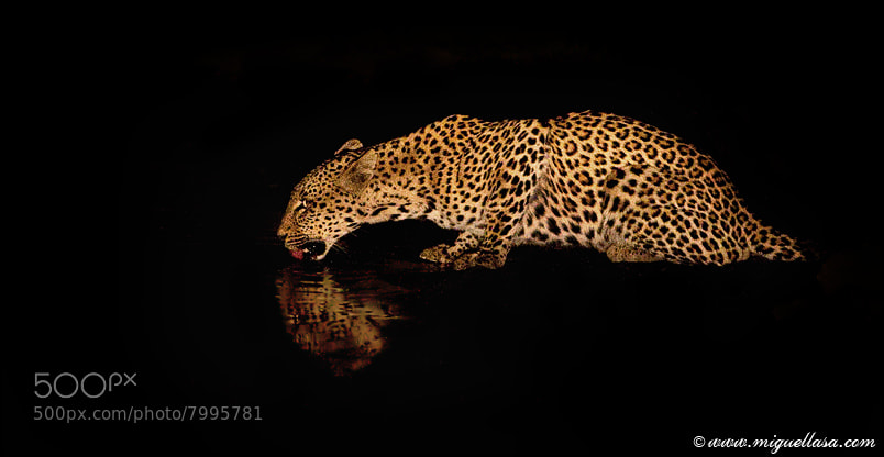Photograph Leopard by Miguel Lasa on 500px