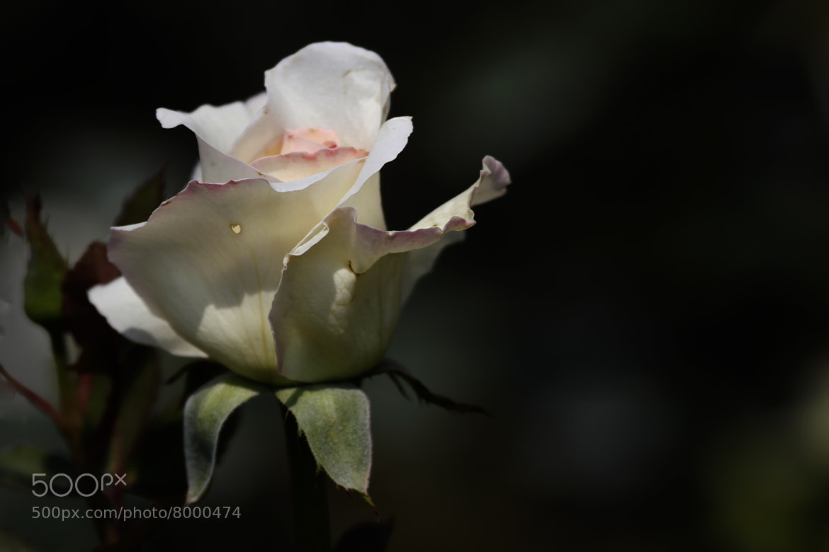 Photograph Rose button ready to open by Cristobal Garciaferro Rubio on 500px