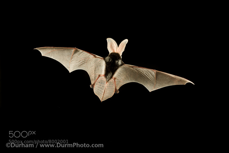 Photograph spotted bat (Euderma maculatum)  by Michael Durham on 500px