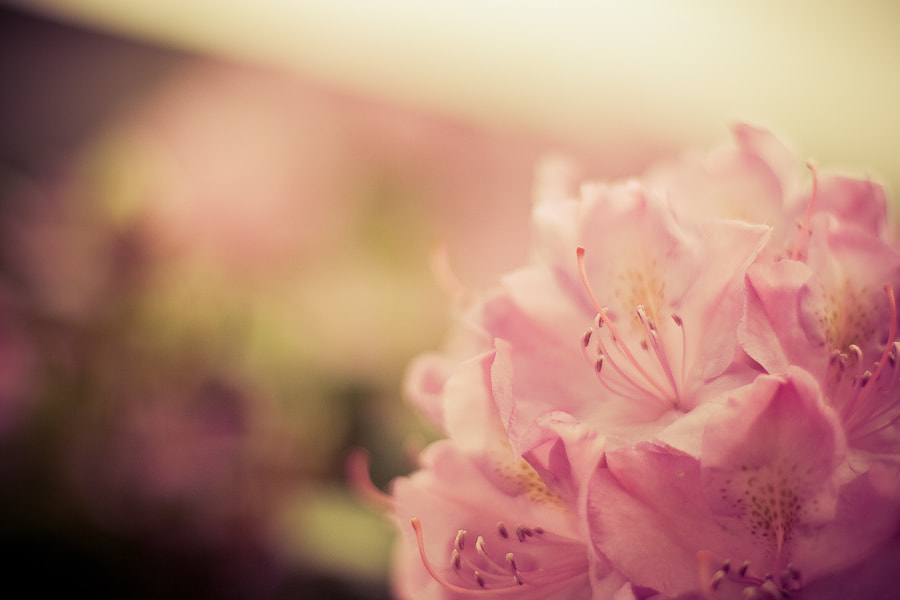 Photograph Rhododendron Blossoms by Ben Lind on 500px