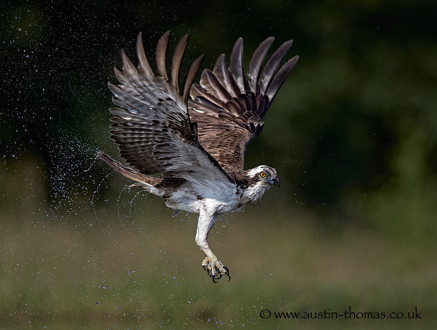 Dripping wet Osprey