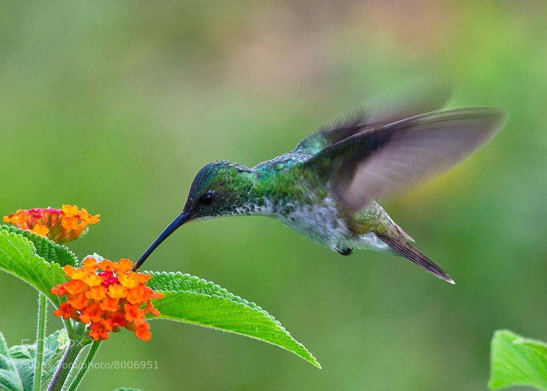 Photograph Hummingbird 3 by Vishnu  Prasad on 500px
