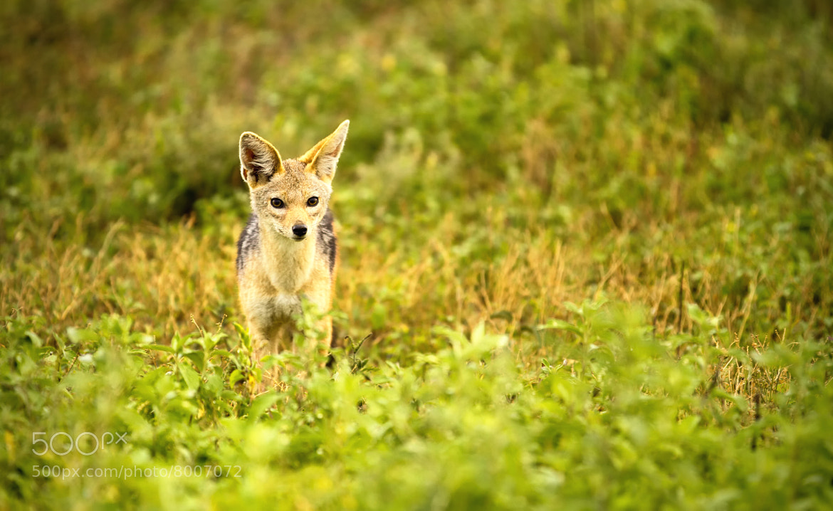 Photograph Black-Backed Jackal, Tanzania by Gareth Harfoot on 500px