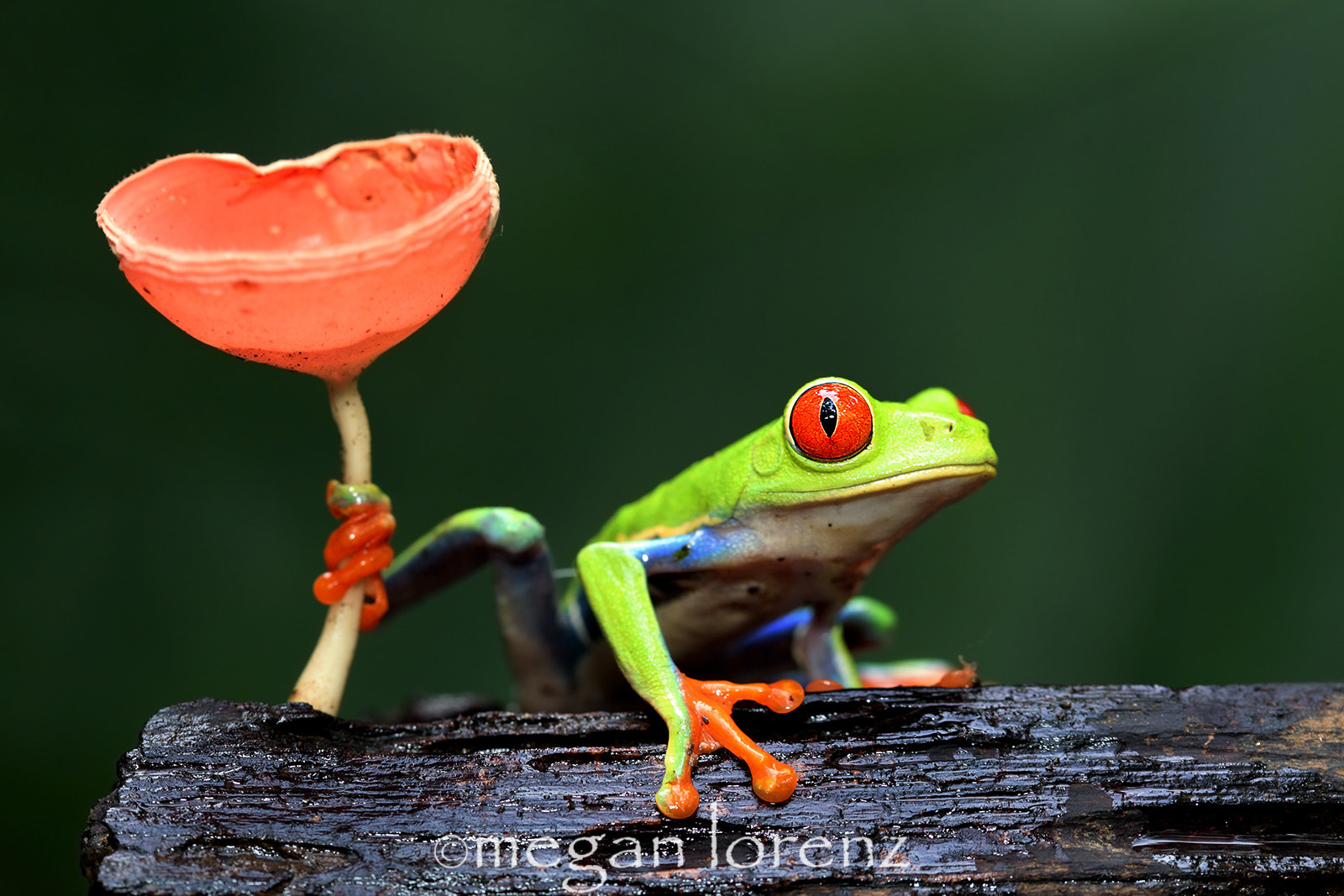 Photograph Tree Frog by Megan Lorenz on 500px