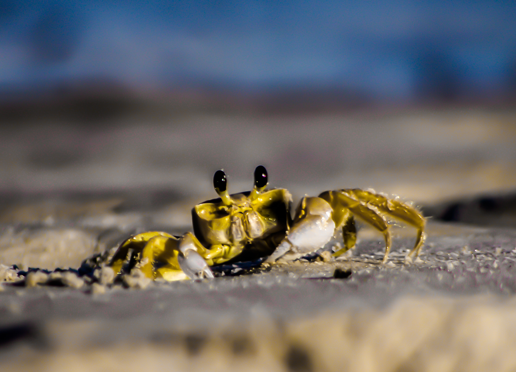 Photograph yellow crab by AF Stabile on 500px