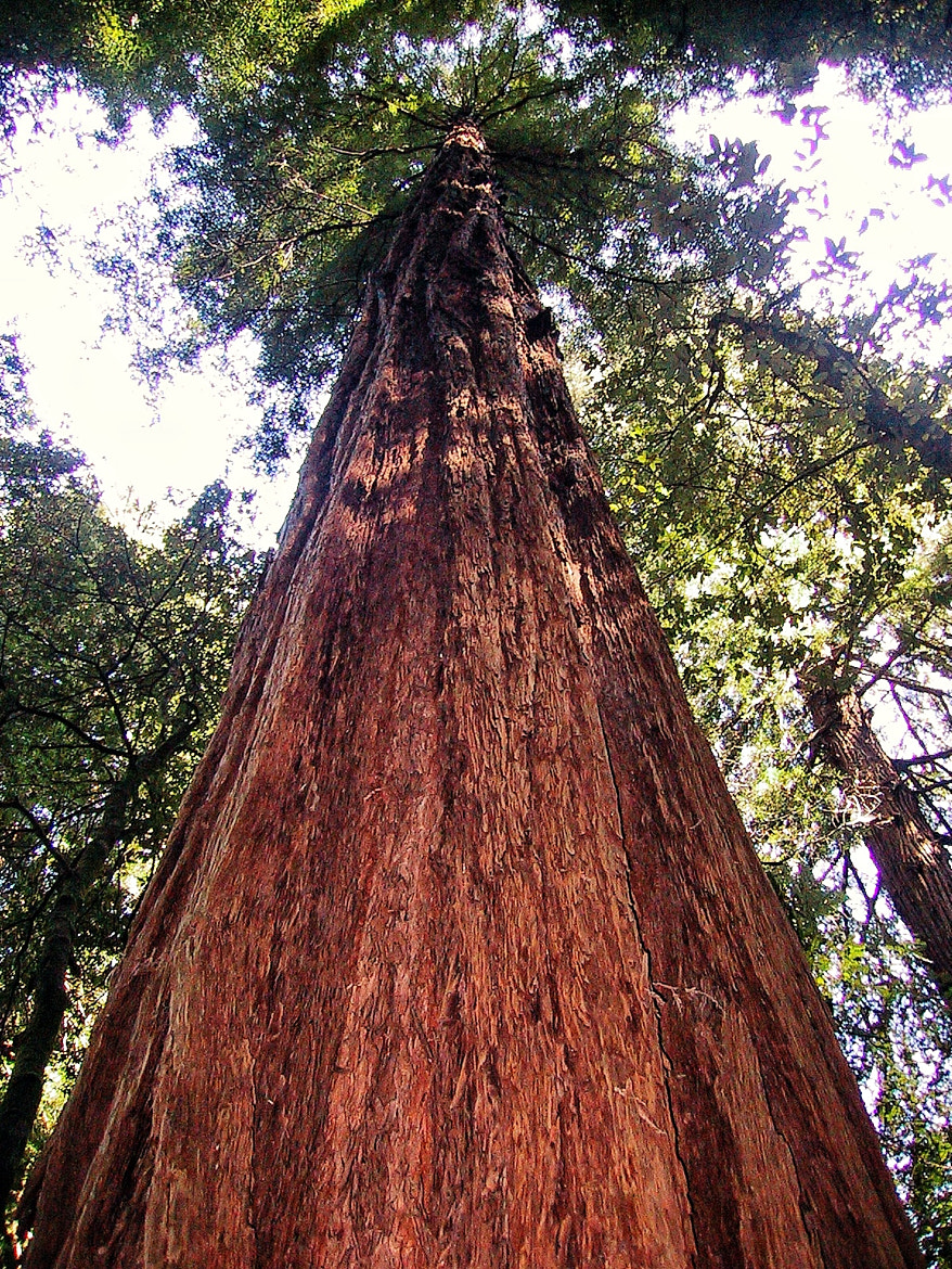 Photograph I am Redwood! by Bill Bates on 500px
