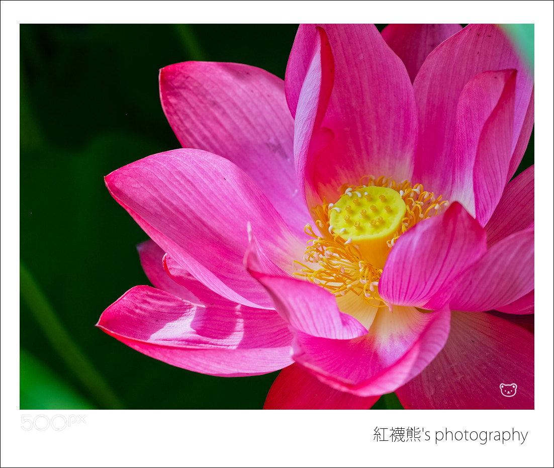 Photograph Lotus by Kyle Lin on 500px
