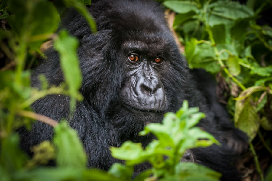 Photograph Gorilla Virunga NP by Joel Johnson on 500px