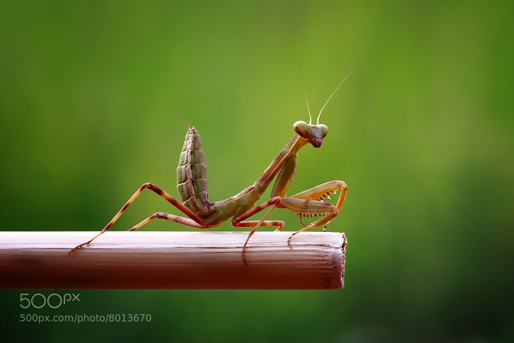 Photograph Mantis 1 by Ita Syamsir on 500px