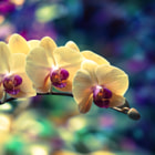 ������, ������: Orchid 01