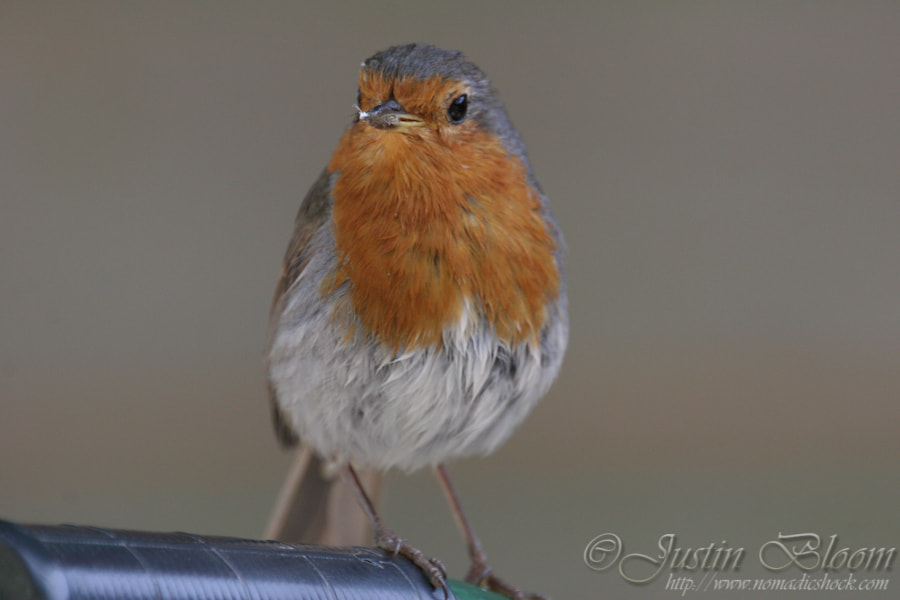 Photograph Lookout Robin by Justin Bloom on 500px