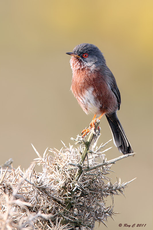 Photograph Dartford Warbler by Roy Churchill on 500px