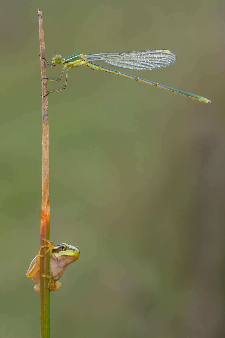 Photograph Hyla arborea & Lestes Virens by Santiago M. C. on 500px