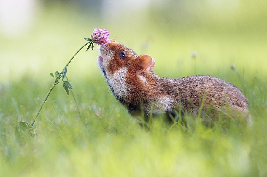 European Hamster by Julian Rad on 500px.com