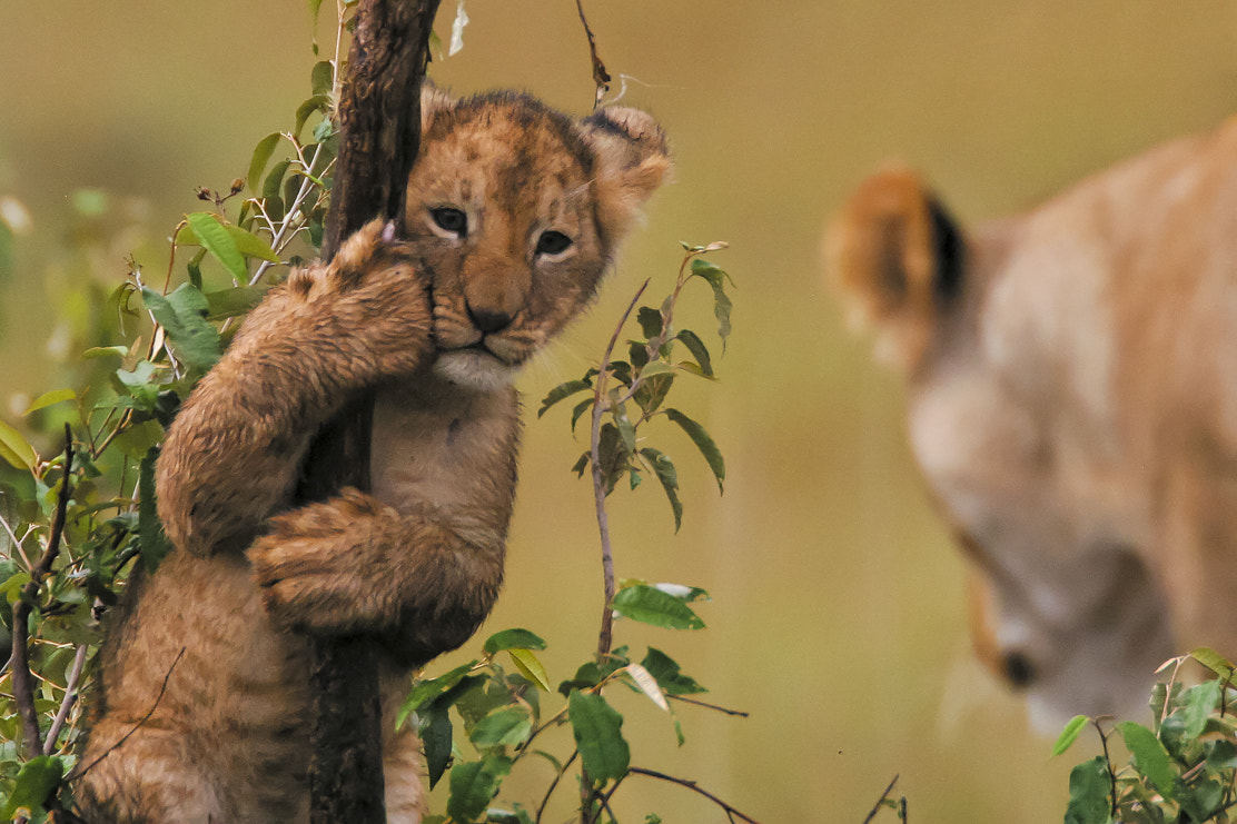 Photograph Get down son . . . you're a lion, not a bear by Tim Allen-Rowlandson on 500px