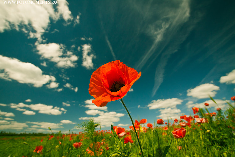 Photograph poppy flowers in meadow grass by yury shanshin on 500px