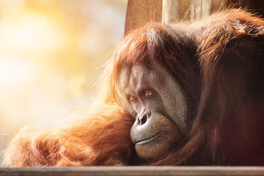 Photograph Save the Orangutan by Manuela Kulpa on 500px