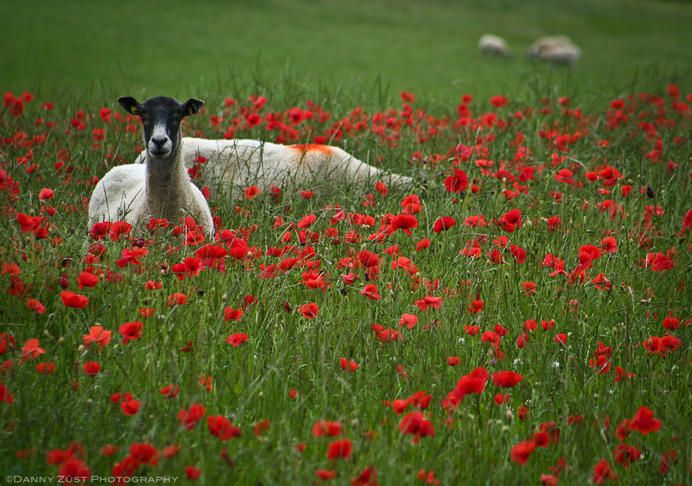 Photograph Curious sheep by Danny  Zust on 500px