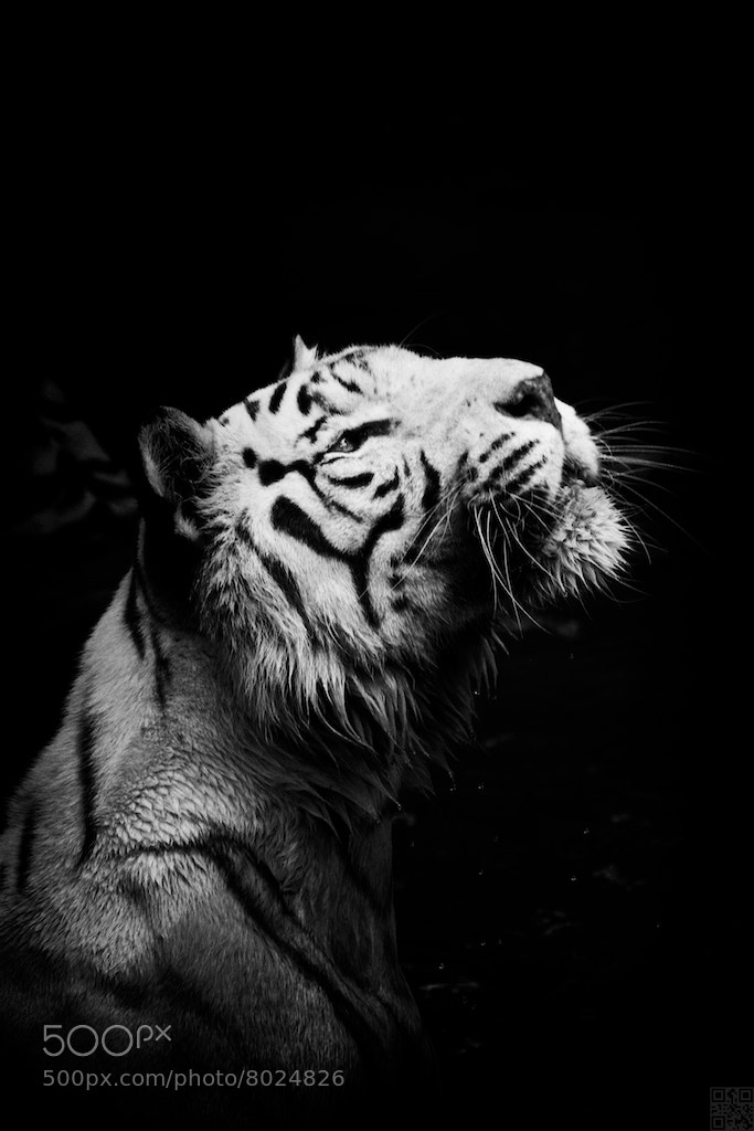 Photograph Bengal Tiger by Benny Liao on 500px