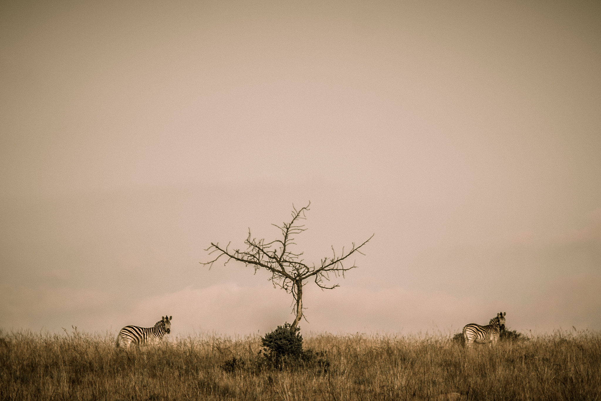 Photograph Zebras by Dylan Cousins on 500px