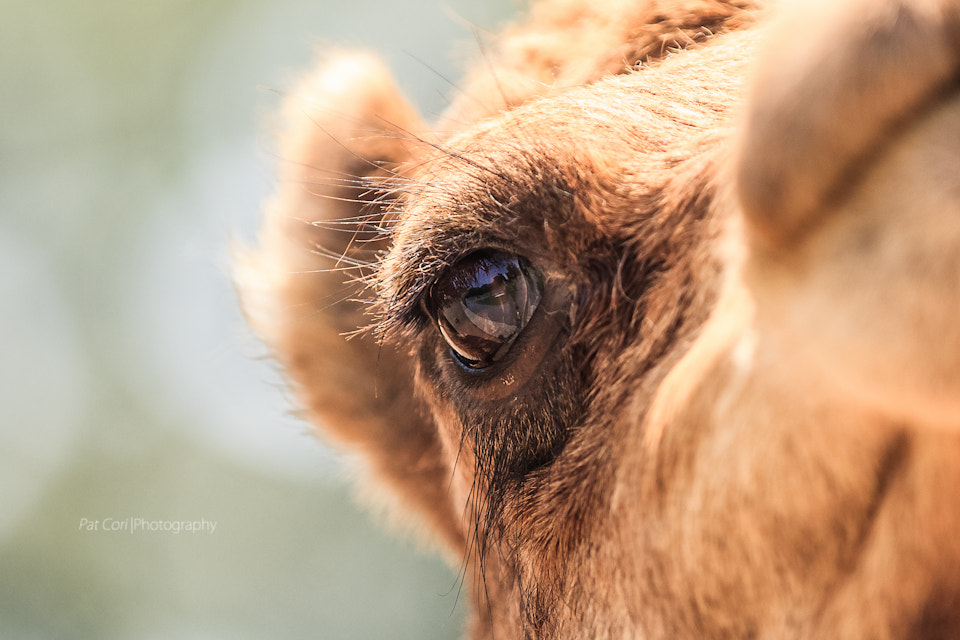 Photograph Camel close-up by Patricia Corigliano on 500px