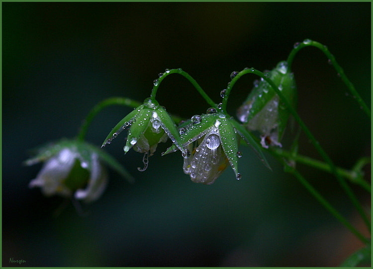Photograph Drops and Flowers... by Nurşen Biçer on 500px