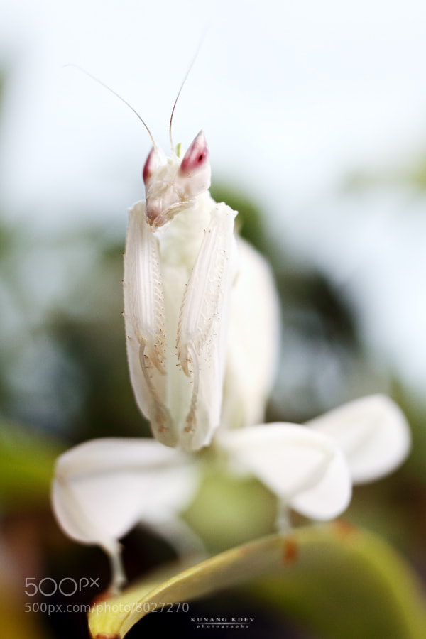 Photograph .white orchid mantis. by kunang kdev on 500px