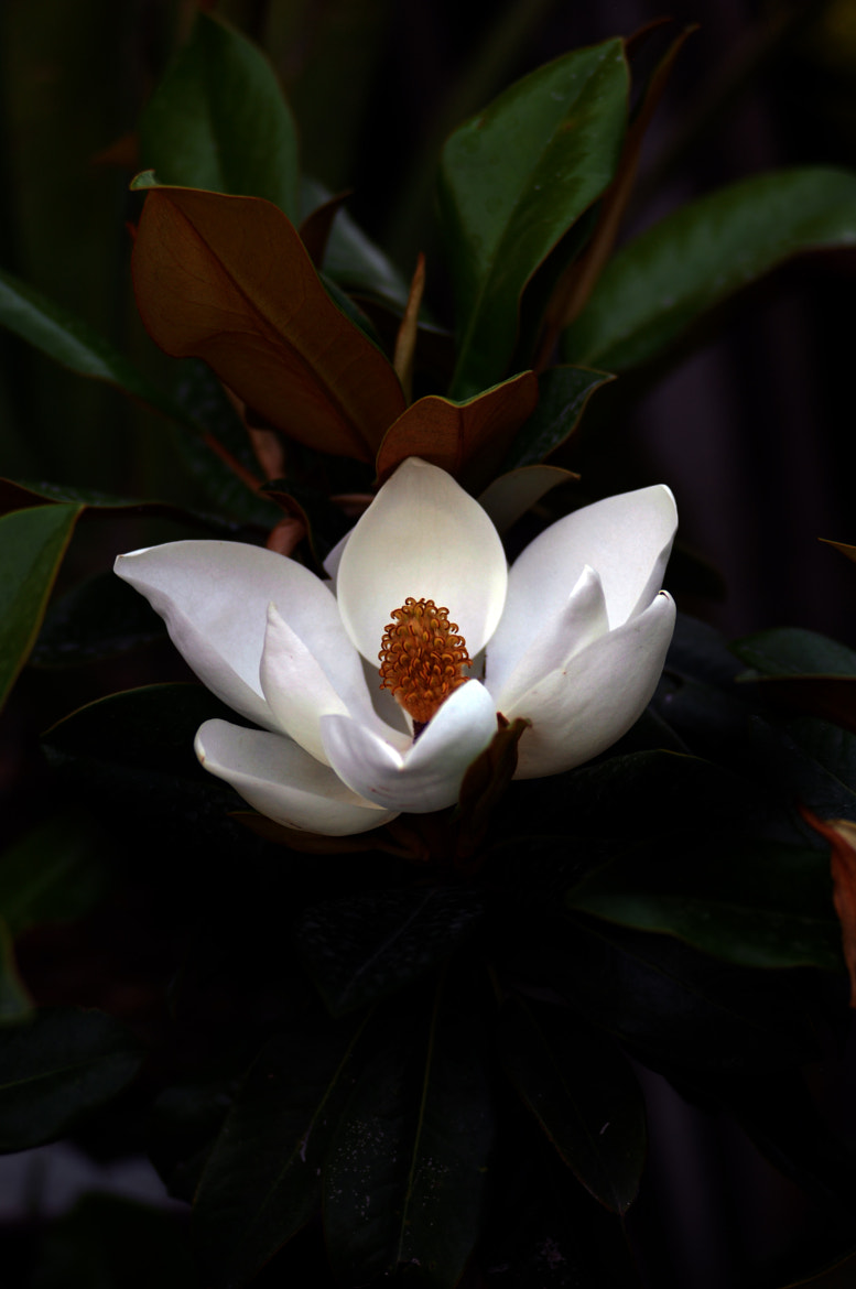 Photograph Magnolia by Cristobal Garciaferro Rubio on 500px