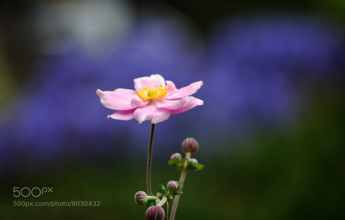Photograph Pink on Blue by Ilidio Fernandes on 500px
