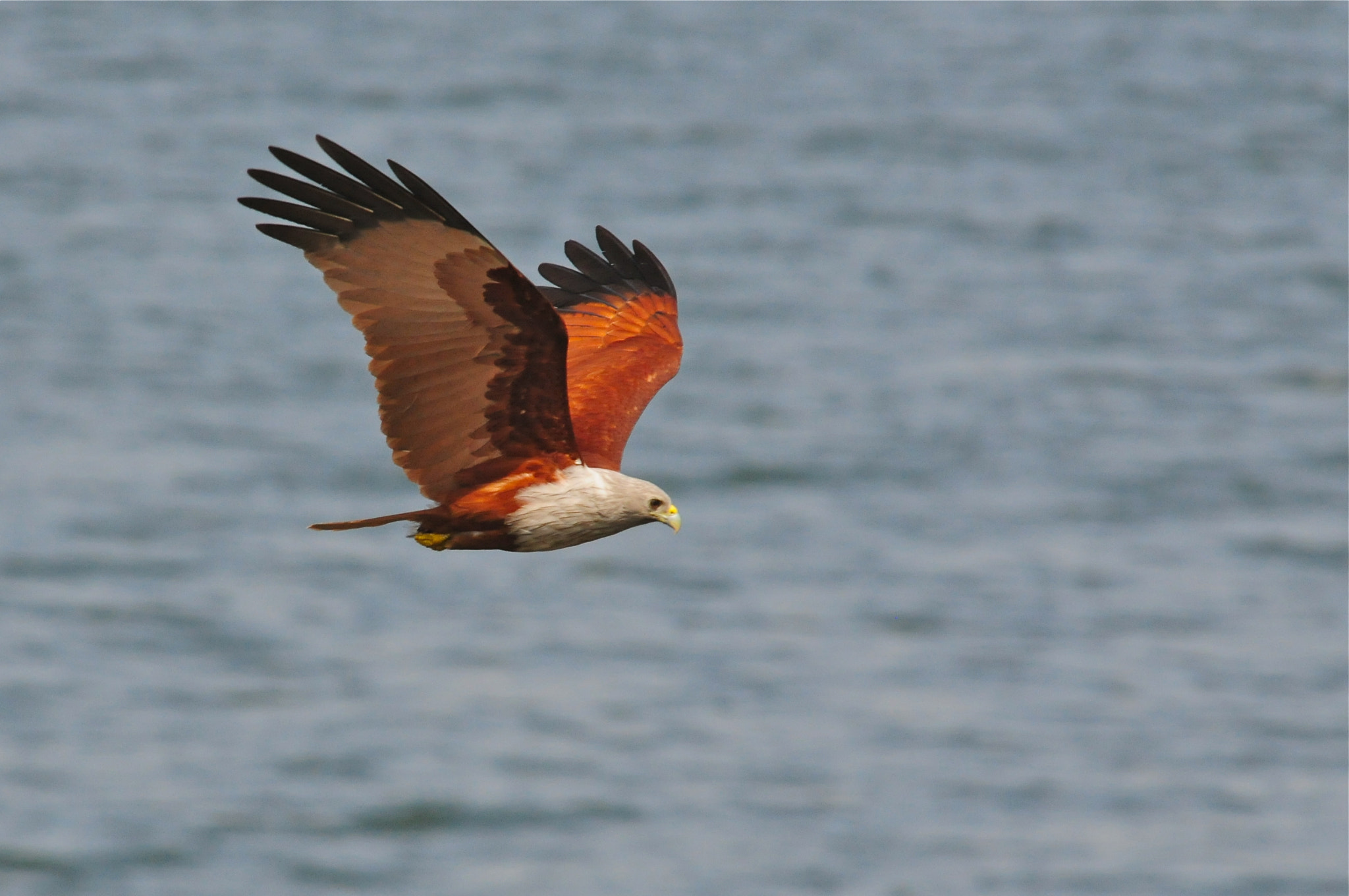 Photograph Brahminy Kite by Hermes S on 500px