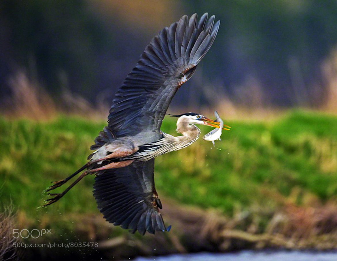 Photograph Great Blue Heron by Dave Wright on 500px
