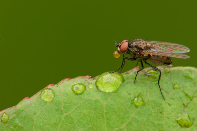 Photograph fly drinking from a water drop by Manfred Huszar on 500px