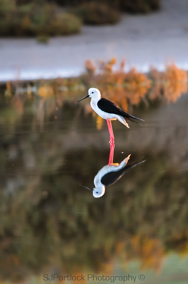 Photograph Black-winged Stilt  by Stephen Portlock on 500px